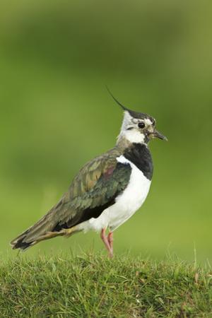 Lapwing (Vanellus Vanellus) Adult in Breeding Plumage, Scotland, UK, June
