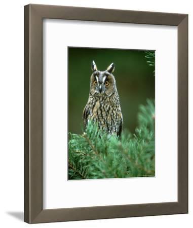Long-Eared Owl, Adult, Scotland