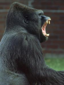 Lowland Gorilla Male Yawning, Showing Teeth by Mark Hamblin