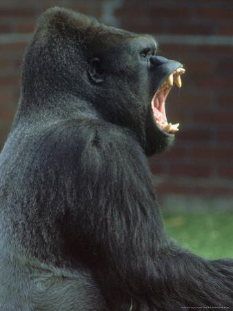 Lowland Gorilla Male Yawning, Showing Teeth