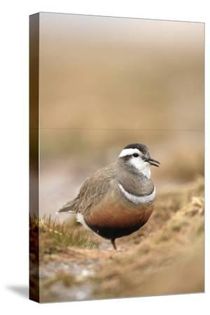 Male Eurasian Dotterel in Breeding Habitat, Grampian Mountains, Cairngorms Np, Scotland, UK