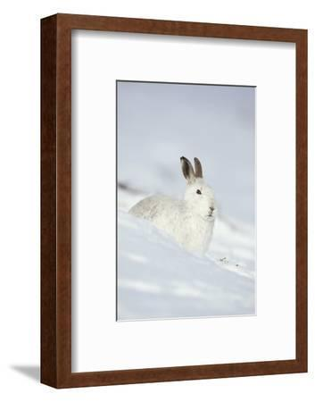 Mountain Hare (Lepus Timidus) in Winter Coat Sitting in the Snow, Scotland, UK, February