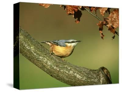 Nuthatch, Sitta Europaea Perched on Log in Autumn UK