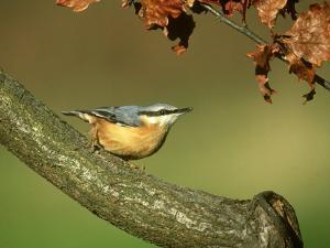 Nuthatch, Sitta Europaea Perched on Log in Autumn UK by Mark Hamblin