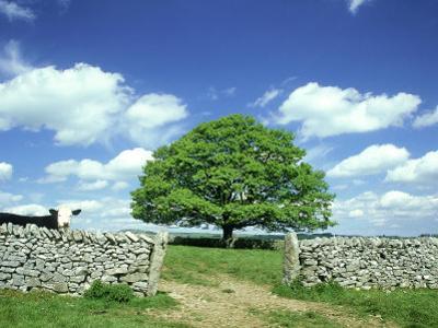 Oak Tree, with Cow & Dry Stone Wall Near Litton, Peak District National Park, UK