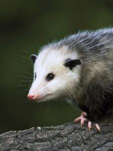 Opossum, Close-up Portrait, USA by Mark Hamblin