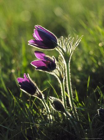 Pasque Flower, Small Group Backlit, Cambridgeshire, UK