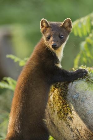 Pine Marten Juvenile in Woodland, Beinn Eighe National Nature Reserve, Wester Ross, Scotland, July