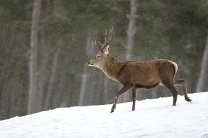 Red Deer (Cervus Elaphus) Stag in Pine Woodland in Winter, Cairngorms National Park, Scotland, UK by Mark Hamblin