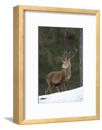 Red Deer (Cervus Elaphus) Stag in Pine Woodland in Winter, Cairngorms National Park, Scotland, UK