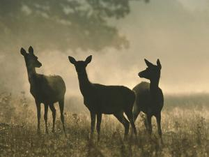 Red Deer Hinds by Mark Hamblin