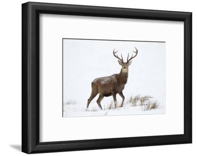 Red Deer Stag (Cervus Elaphus) on Open Moorland in Snow, Cairngorms Np, Scotland, UK, December