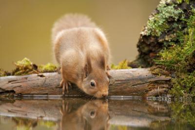 Red Squirrel (Sciurus Vulgaris) Drinking from Woodland Pool, Scotland, UK, November