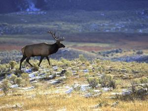 Rocky Mountain Elk, Yellowstone National Park, USA by Mark Hamblin