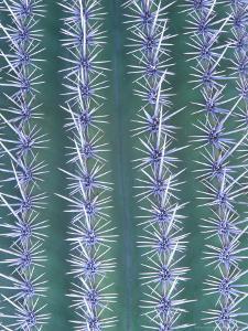 Saguaro Cactus, Close-up Detail, USA by Mark Hamblin