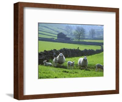 Sheep Ovis Aries