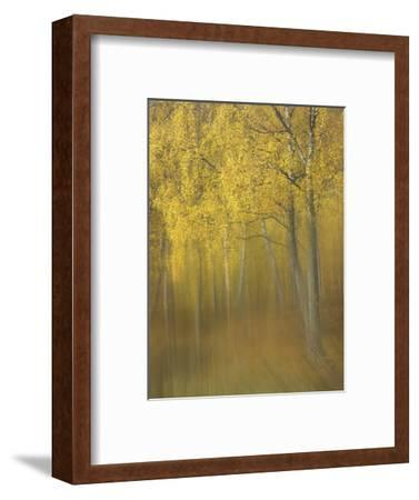 Silver Birch, Impression of Woodland, Scotland