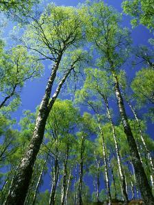 Silver Birch, Trees in Early Spring, Scotland, UK by Mark Hamblin