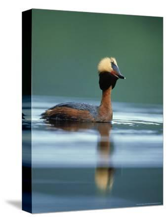 Slavonian Grebe, Podiceps Auritus Adult on Loch in Summer P Lumage, May, Scotland