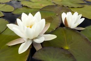 White Water Lily (Nymphaea Alba) in Flower, Scotland, UK, July. 2020Vision Book Plate by Mark Hamblin