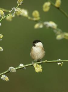 Willow Tit, Parus Montanus Perched on Pussy Willow, UK by Mark Hamblin