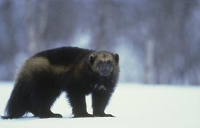 Wolverine, Adult Standing on Snow, Winter