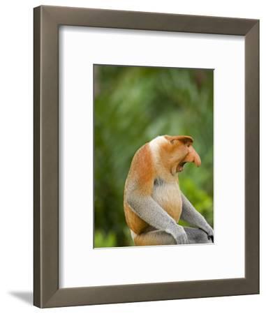 Alpha Male Proboscis Monkey in Territorial Stance, Sabah, Borneo