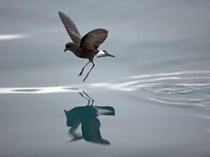 Antarctic Peninsula, Hope Bay, Wilson's Storm Petrel Seems to Walk across Surface of Water by Mark Hannaford