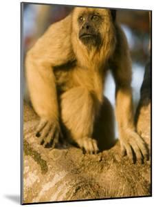 Black Howler Monkey Climbing a Tree in the UNESCO Pantanal Wetlands of Brazil by Mark Hannaford