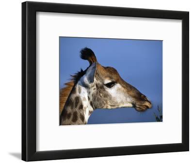 Detail of Giraffe Face, South Africa
