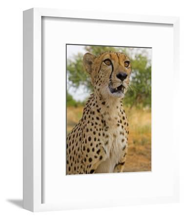 Erongo Region, Damarland, A Cheetah, Namibia