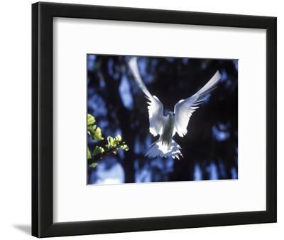 Fairy Tern in Flight, Aride Island