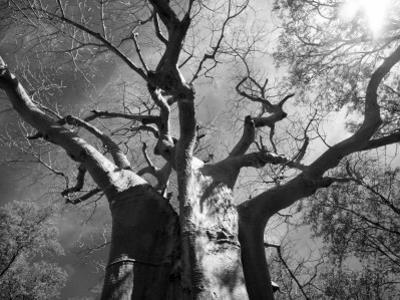 Malawi, Upper Shire Valley, Liwonde National Park; the Spreading Branches of a Massive Baobab Tree