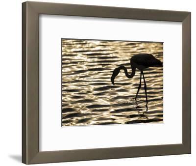 Namibia, Walvis Bay; Flamingo Filter Feeding in Walvis Bay Lagoon at Sunset