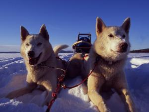 Sled Dogs 'Hiko' and 'Mika', Resting in the Snow with Sled in the Background by Mark Hannaford