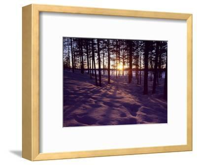 Sunset in Pine Forest in Jekkele, Sweden
