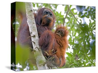 Wild Orangutans in Arboral Settings in Rainforest Near Sepilok, Borneo