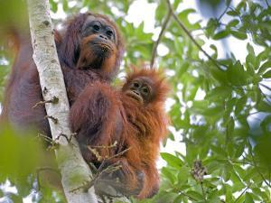 Wild Orangutans in Arboral Settings in Rainforest Near Sepilok, Borneo by Mark Hannaford