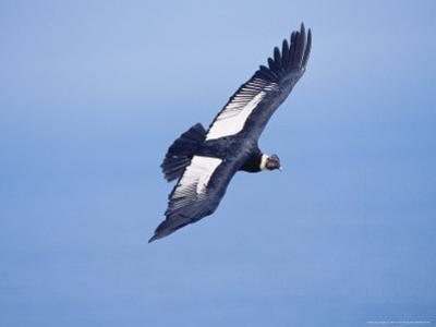Andean Condor, Adult Male Flying Over Atacama Desert Coast, Peru