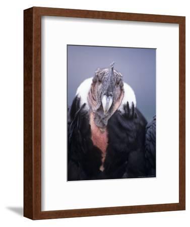 Andean Condor, Adult Male in Prime Colours, Hacienda Zuleta, Cayambe
