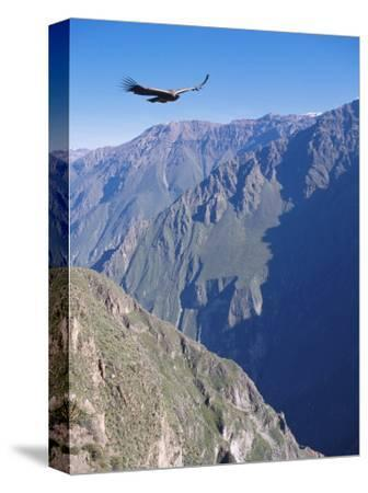 Andean Condor, Juvenile Male in Flight on Morning Thermals, Colca Canyon, Southern Peru
