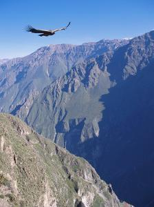 Andean Condor, Juvenile Male in Flight on Morning Thermals, Colca Canyon, Southern Peru by Mark Jones