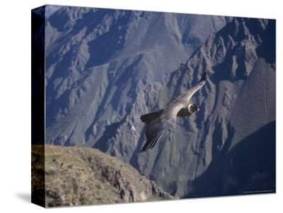 Andean Condor, Sub-Adult Male in Flight, Peru