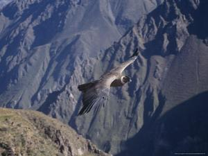 Andean Condor, Sub-Adult Male in Flight, Peru by Mark Jones