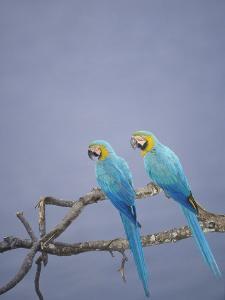 Blue and Yellow Macaw, Upper Tambopata River, Peruvian Amazon by Mark Jones