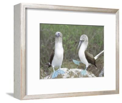 Blue Footed Booby, Elaborate Courtship Dance, Galapagos