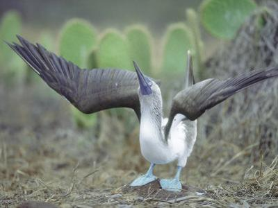 Blue Footed Booby, Sky Pointing Courtship Display, Galapagos
