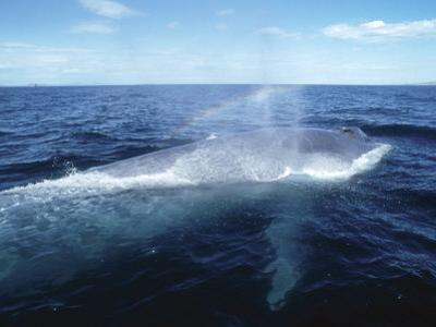 Blue Whale, Blowing, Sea of Cortez