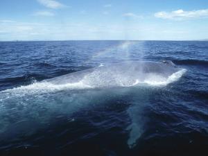 Blue Whale, Blowing, Sea of Cortez by Mark Jones