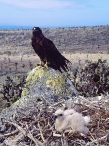 Galapagos Hawk, with Chick on Nest, Galapagos by Mark Jones